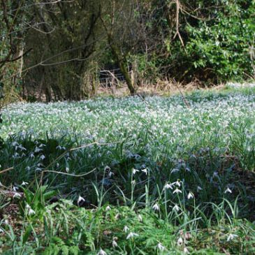 The Story of the Snowdrop Field
